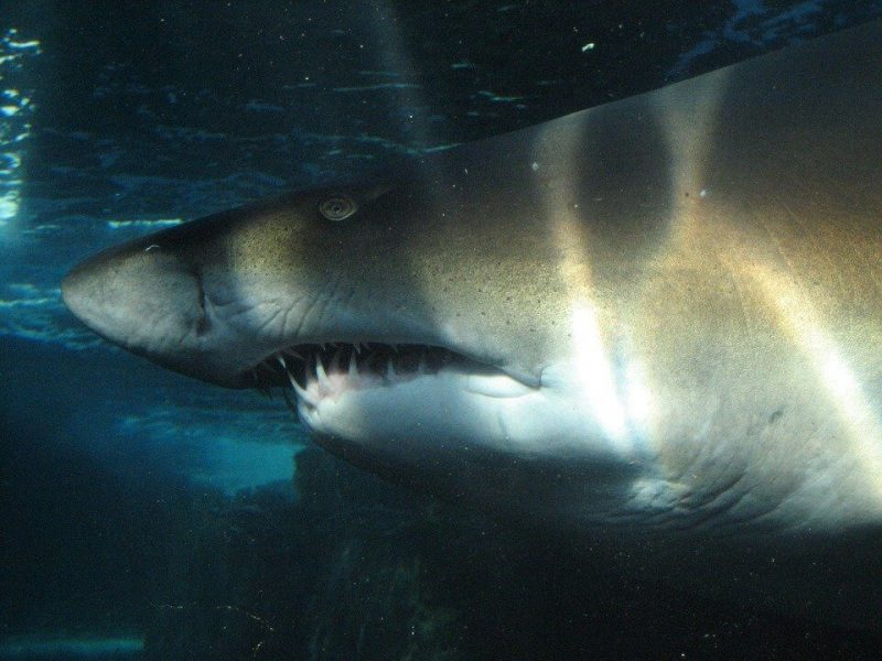 Tiger sharks are found to share foods with great whites and crocodiles