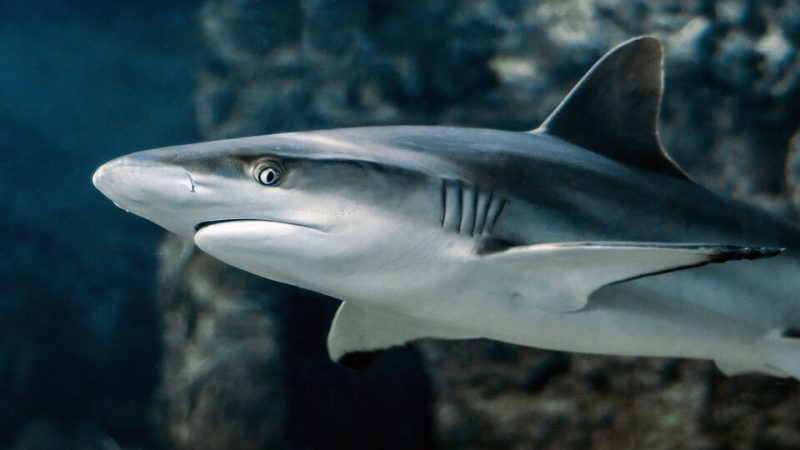 Facts about Tiger Shark