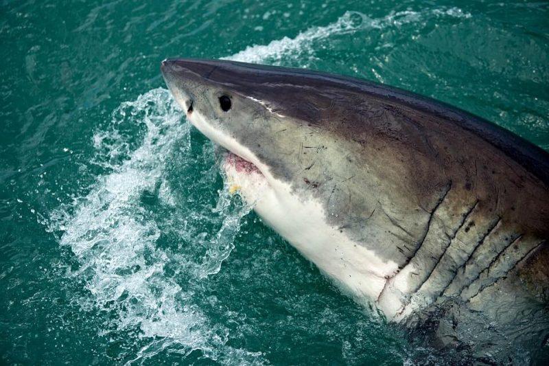 Tiger sharks benefit sea grass around them