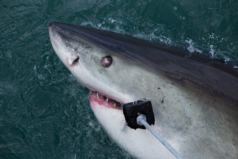 A shark was once used for mystery murder