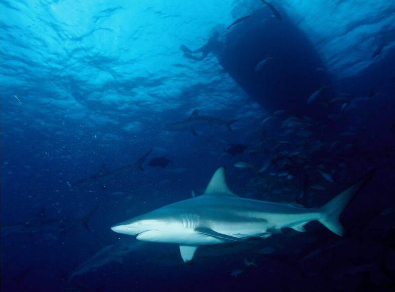 Tiger sharks living in Atlantic migrate south on winter